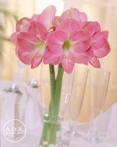 Amaryllis Dutch 'Pink Impression' Amaryllis