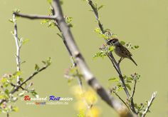 Der kleine ist ein Feldsperling (Passer montanus) im Volksmund auch Spatz genannt. #feldsperling   #vögel   #singvögel   #spatz