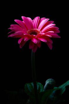 by nakatugawa shizuka Black Flowers, Lavender Flowers, Exotic Flowers, Pretty Flowers, Pink Flowers, Flower Images, Flower Pictures, Flower Art, Gerbera Flower
