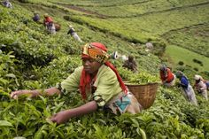 A woman picks tea leaves in a field. Coffee and tea are the nations biggest exports and agriculture is the main source of money for families