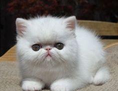 Bella Mia Gatil de Exotic Shorthair e gatos persas - 2011 Gatinhos