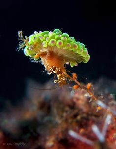 This shrimp lives in a symbiotic relationship with several nudibranch ...  By: Paul Rudder