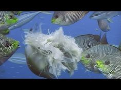 Fishes Feeding - Reef Life of the Andaman - Part 19. This video features different ways in which fishes hunt and feed on their prey. We meet streaked spinefoots preying on jellyfish, schools of parrotfish grazing the reef, and a breathtaking array of colorful tropical fish feeding at Koh Tachai.