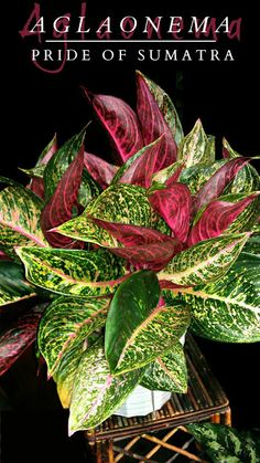 """Aglaonema """"Pride of Sumatra""""     One of the most exotic hybrids ever created."""