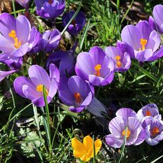Beautiful crocuses in bloom in Parksville. Spring is on the way!