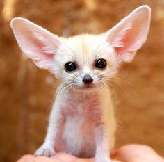 Animals With Weird Ears 7
