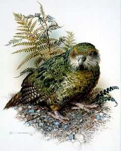 Kakapo by Carl Brenders I love these ground dwelling birds. Unless you've seen one you wouldn't believe how big they are. Wildlife Paintings, Wildlife Art, Bird Artists, New Zealand Art, Kinds Of Birds, Illustration, Art Series, Nature Prints, 2d Art