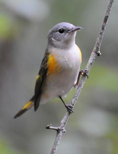 Female American Redstart. Isn't she gorgeous?  From the Francis Beidler Swamp.