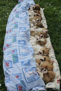 Single friend Single friend – Animals and pets … – Super süße tiere Cute Baby Dogs, Cute Dogs And Puppies, I Love Dogs, Puppies Puppies, Welsh Corgi Puppies, Fluffy Puppies, Adorable Puppies, Pembroke Welsh Corgi, Bulldog Puppies