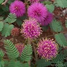 cat-claw mimosa (Mimosa quadrivalvis var. nuttallii)