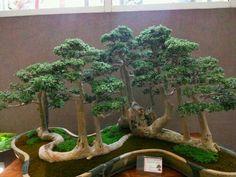 Angico vermelho bonsai pesquisa google bonsai tree for Bonsai hydrokultur