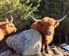 Highland Cattle Cow #highlandcattle #highlandcow #cow #cows #cattle #cowsofinstagram #牛 #nature #pasture #finland #landscape #horns #farmlife #countrylife #Farm #countryside #rural #lehmä #countrylifestyle1 #leppävirta #ylämaankarja #ig_countryside #ig_highlandcows #pocket_farms #lifeonthefarm #farmanimals #sunny