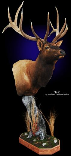 Elk Mount by Northeast Taxidermy Studios. #taxidermy #mounts #hunting