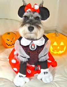 #Miniature #Schnauzer - this is too funny.