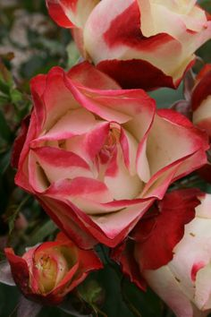 'Origami' |Floribunda rose