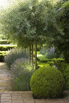 Dought tolerant plants: French lavender; olive trees, and New Zealand grasses, particularly varieties of poa.