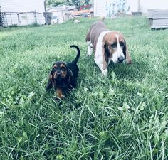 Jaeger and Elmer! - Basset Hound World Hound Dog, Basset Hound, Doggies, Pet Dogs, Pets, Beagles, Wolves, Roxy, Puppy Love