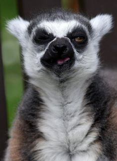 Stumpy is thought to be the oldest ring-tailed lemur in captivity in the world. (Photo by Hemedia/Swns Group)