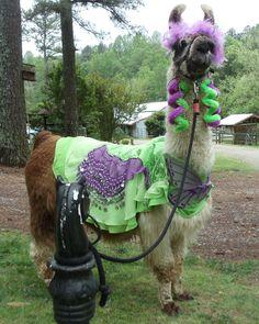 My llama Twist in purple and green llama costume that I made.