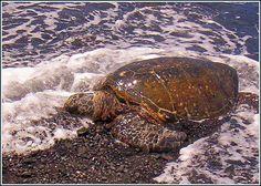 Honu (turtle) at Punalu'u Black Sand Beach.  Oahu, Hawaii...this was one of my favorite Hawaiian experiences