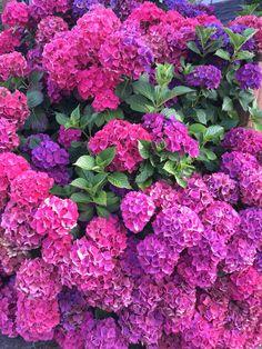 . Beautiful Rose Flowers, Exotic Flowers, Beautiful Gardens, Hortensia Hydrangea, Hydrangea Garden, Hydrangeas, Hydrangea Landscaping, Home Landscaping, Flower Seeds