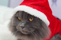 Beautiful gray cat with a Santa suit by Irantzu Arbaizagoitia on @creativemarket