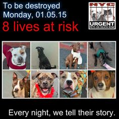 TO BE DESTROYED: 8 beautiful dogs to be euthanized by NYC ACC- MON. 01/05/15. This is a VERY HIGH KILL shelter group. YOU may be the only hope for these pups! ****PLEASE SHARE EVERYWHERE!!To rescue a Death Row Dog, Please read this:  http://urgentpetsondeathrow.org/must-read/    To view the full album, please click here:    https://www.facebook.com/media/set/?set=a.611290788883804.1073741851.152876678058553&type=3