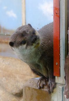 Curious otter wants to know what's going on in there - May 15, 2017