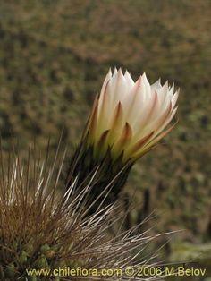 Imágen de Echinopsis chiloensis ssp. littoralis (Quisco costero). Haga un clic para aumentar parte de imágen.