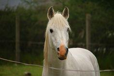 Pferd, Schimmel, Hengst, Vollblutaraber, Pferdekopf