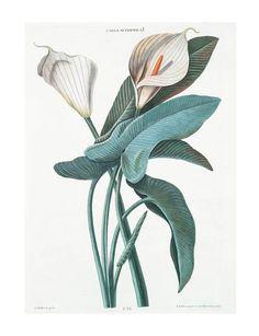 """Georg Dionysius Ehret,Calla Aethiopica, 1768-1786. From the book """"Der das ganze Jahr hindurch im schönsten Flor stehende Blumengarten, oder Abbildungen der lieblichsten Blumen"""" by Michael Seligmann."""