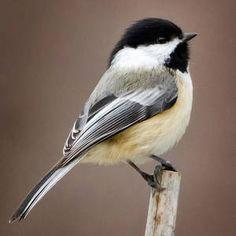 Chickadee by Bill Wakeley Cute Birds, Small Birds, Colorful Birds, Little Birds, Exotic Birds, Funny Birds, Tropical Birds, Pretty Birds, Chickadee Tattoo