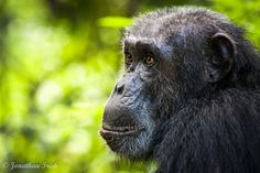 Jane's Chimps -   At Gombe Stream National Park in Tanzania, one of Jane Goodalls chimps sits stoically. Chimpanzees share about 96% of human DNA, and their human