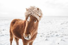Icelandic Horse by Sam Elkins - Stocksy United Wildlife Photography, Travel Photography, Iceland Air, Icelandic Horse, Paws And Claws, Cowboy Art, Most Beautiful People, Little Critter, Winter Time