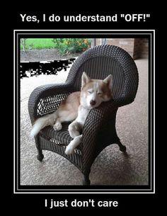 - Funny Husky Meme - Funny Husky Quote - The post appeared first on Gag Dad. - Funny Husky Meme - Funny Husky Quote - The post appeared first on Gag Dad. Funny Husky Meme, Dog Quotes Funny, Dog Memes, Funny Dogs, Dog Humor, Dog Funnies, Funny Memes, Cute Husky, My Husky