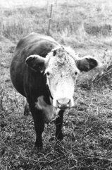 Sarah Briggs - Cow