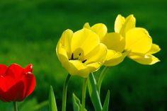 Tulipány jsou vytrvalé cibulovité rostliny. Listy jsou jednoduché, střídavé, horní listy se postupně zmenšují oproti spodním, s listovými pochvami.