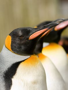 ^King Penguins