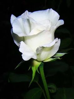 Google+ / white rose: Purity,Innocence,Silence secrecy,Heavenly and youthfulness