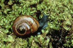 Powelliphanta snail, one of the 21 species that live in the rainforests of New Zealand. They are nocturnal, carnivorous (eating earthworms and slugs) and can grow up to 90mm across.