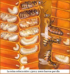 Honey bees - larval and pupae stages