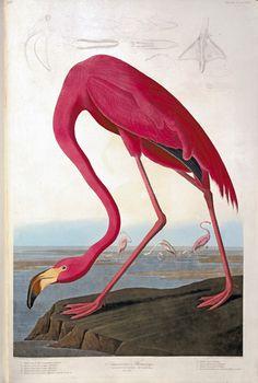 Greater flamingo, Phoenicopterus ruben  John James Audubon (1785 - 1851) Hand-coloured engraving, 1827 - 1830, © Natural History Museum