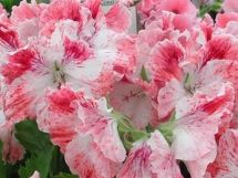 Fibrex Nurseries - Pelargoniums - Regal - 'Mohawk'