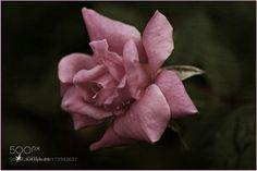 Pink by JoeyCulver1. @go4fotos