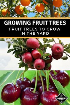 - Top Tips For Successfully Growing Fruit Trees Harvest your own fresh fruit from your yard. Try growing fruit trees from this idea list. Don't miss these fruit gardening tips. Home Vegetable Garden, Fruit Garden, Garden Trees, Garden Plants, Succulent Gardening, Container Gardening, Organic Gardening, Growing Fruit Trees, Growing Plants