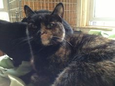 Two Face is an adoptable Domestic Short Hair Cat in Swartz Creek, MI.  Two Face PetSmart- Grand Blanc- Two Face is a beautiful tortie cat who is came to the shelter with a litter of babies. It is obv... Swartz Creek, Paws Rescue, Short Hair Cats, Two Faces, Shelter, Short Hair Styles, Adoption, Babies, Pets