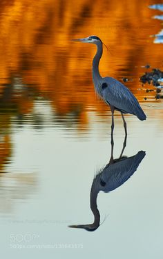 http://ift.tt/1K6283m #animals Great Blue Sunset. by PrathapPictures http://ift.tt/1Pz8JUH #pierceandbiersadorf