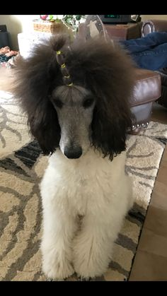 Breezy the Standard Poodle Poodle Mix Puppies, Puppy Tattoo, Small Poodle, French Dogs, Puppy Grooming, Beautiful Dogs, I Love Dogs, Standard Poodles, Dog Cat