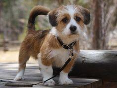 Shorgi puppy! Half corgi, half shih-tzu! Perfection! Its my bentley this is the sweetest breed ever :)