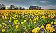 Multiple Choice, Daffodils, Vineyard, Flowers, Outdoor, Outdoors, Vine Yard, Florals, Vineyard Vines